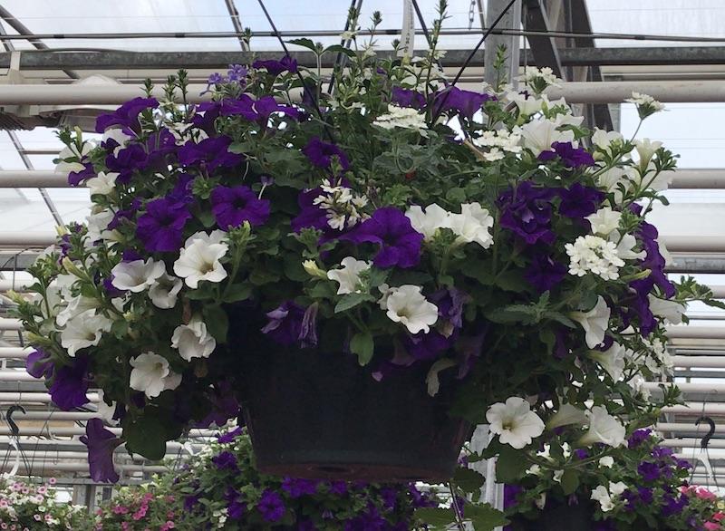 Kwekerij Dongeneind, zomerbloeiers, plantenbakken,