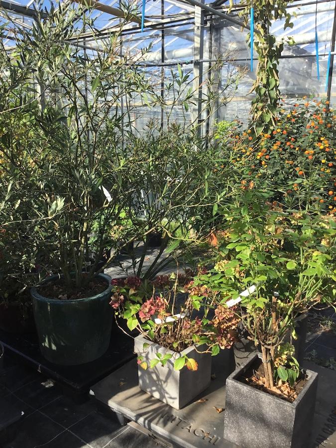 plantenhotel, najaarsbloeiers, violen, erica, calluna, Kwekerij Dongeneind, zomerbloeiers, plantenbakken,