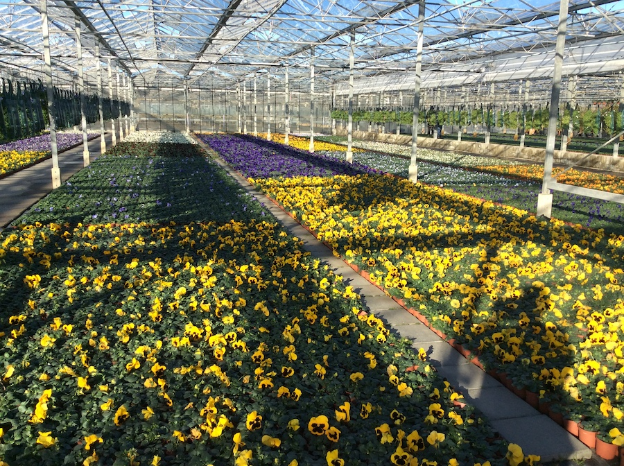 najaarsbloeiers, violen, erica, calluna, Kwekerij Dongeneind, zomerbloeiers, plantenbakken,
