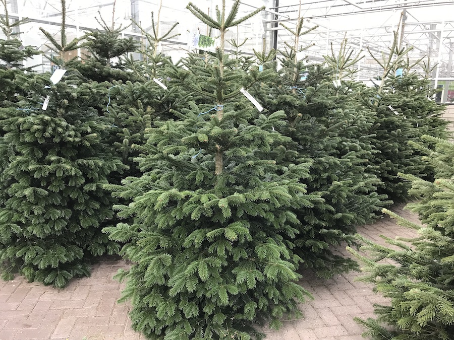 kwekerij dongeneind, indoor kerstbomenverkoop kerstbomen , nordmann kerstboom, pungens kerstboom, omirika kerstboom in pot